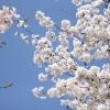 【大阪】屋形船からの花見が素敵!夜桜の宴会にもいいぞ!