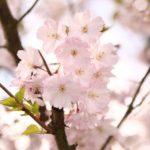 日本橋花見ぼんぼり船の日程・時間・場所・料金・アクセス方法について