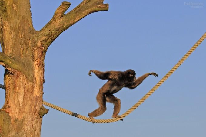 berber-monkey-226884_1280