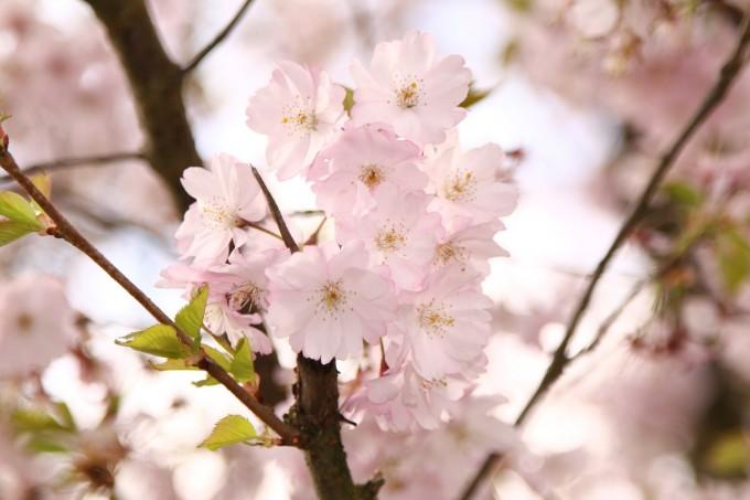 ornamental-cherry-415983_1280