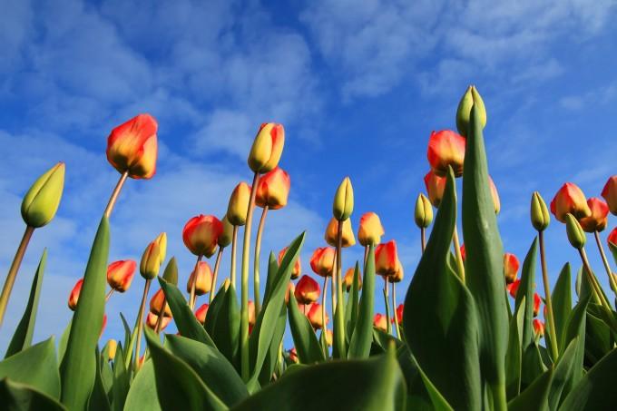 tulips-21598_1280