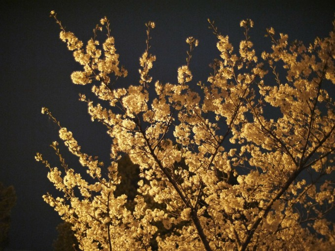 cherry-blossoms-108518_1280