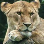 ライオンと人間が仲良しになる方法・ライオンと友情を築いた男