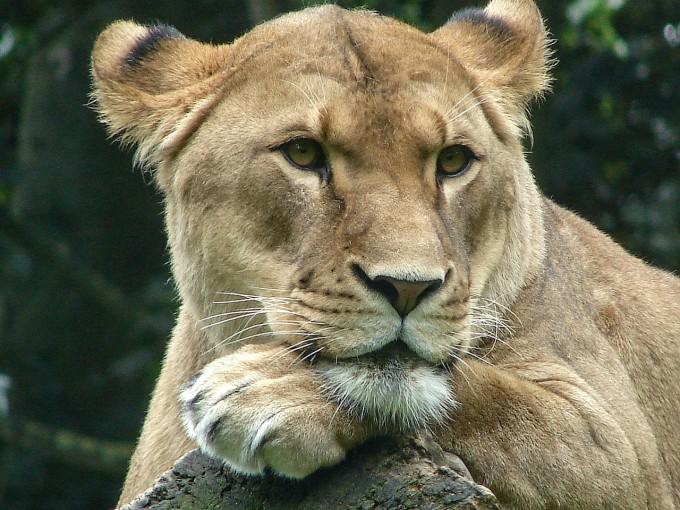 lioness-415106_1280