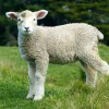 【中国全土500万アクセスの3枚の写真】羊を散歩させる美女がネット界で爆発的人気!?