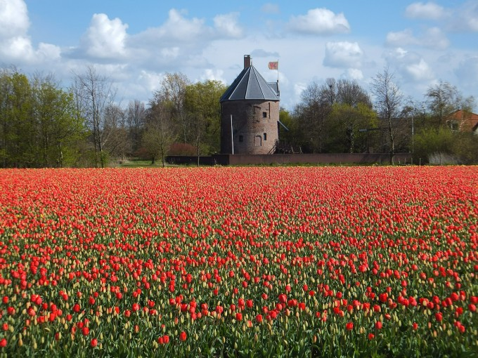tulips-528536_1280