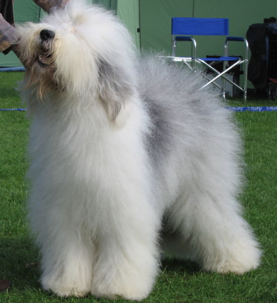 548px-Old_english_sheepdog_Ch_Bobbyclown's_Dare_for_More