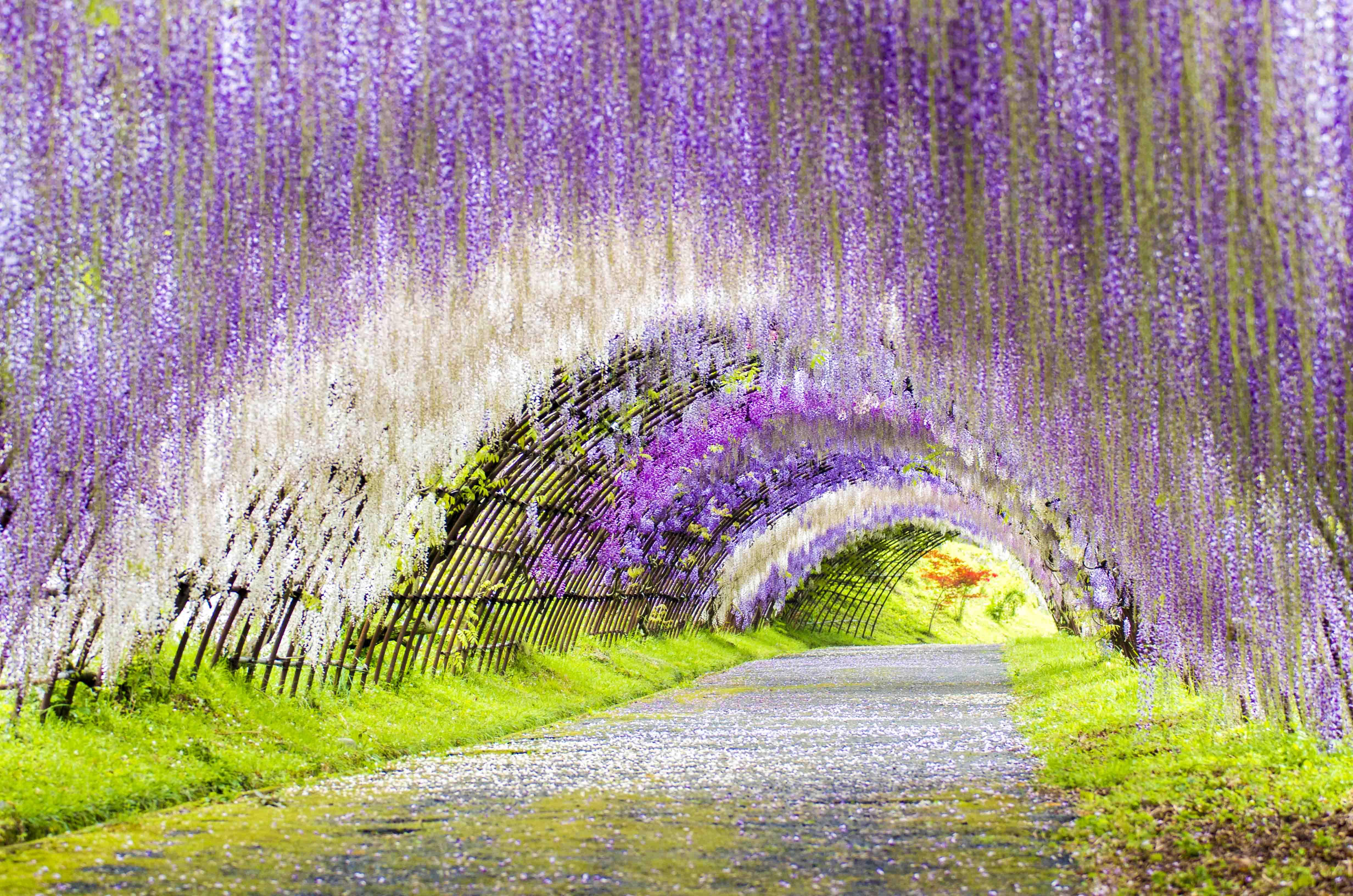 こちらも色鮮やかな藤の花のトンネル