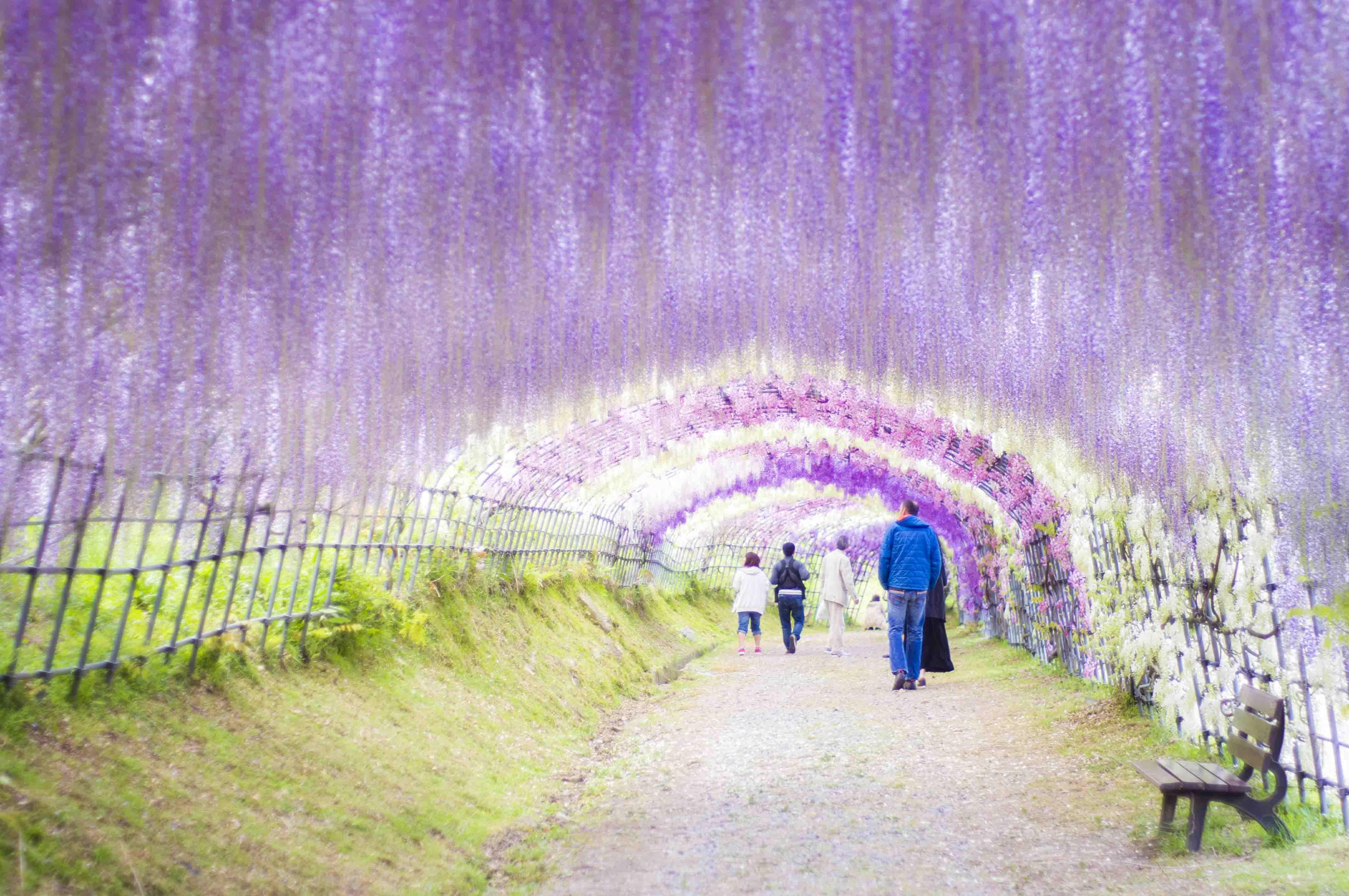 色鮮やかな藤のトンネルに日がキラキラと差し込むとそれはそれは絶景です。