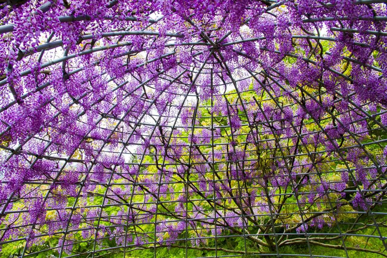 非常に珍しいドーム型の藤の中に入ることができます。