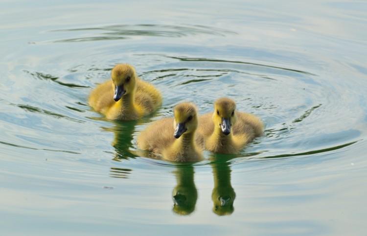 canada-goose-355732_1280